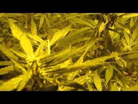 marijuana grow box hydroponics at tehran