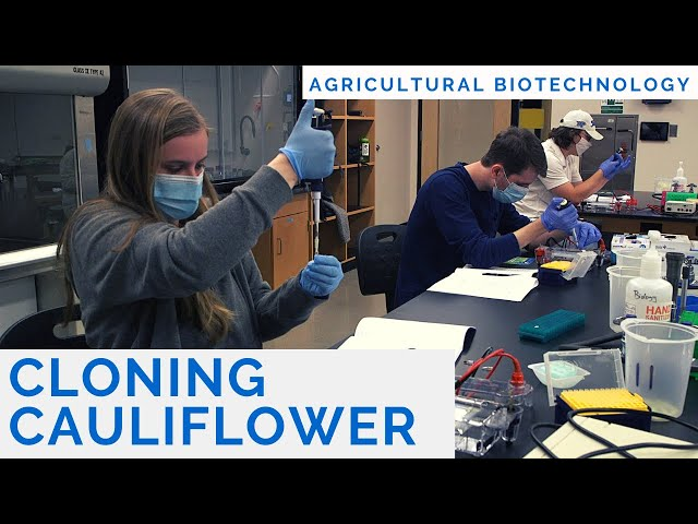 Cloning Cauliflower and Much More with Agricultural Biotechnology