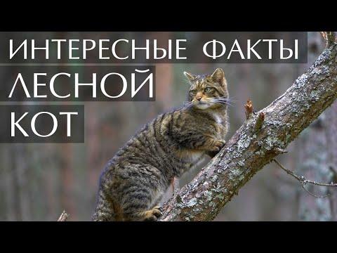 Лесной Кот интересные факты