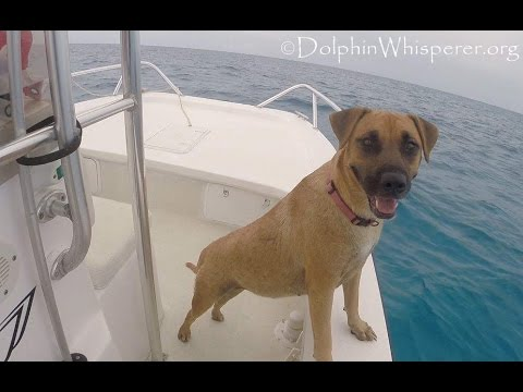 Former stray sees Wild Dolphins from Boat, Jumps In & Swims Over to them!
