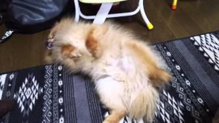 ウチの愛犬は加藤茶のちょっとだけよーをやります(笑) ペット面白動画 ...