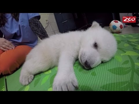 Polar Bear Cub is Being Hand-Reared After Being Abandoned By Her Mom