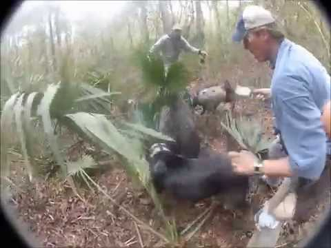 !!!!GRAPHIC HOG DOG HUNT #2 BIG BADASS BOAR!!!!