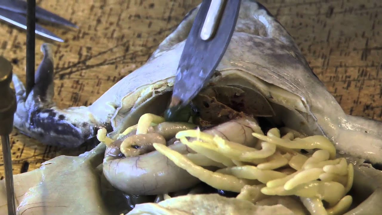 Frog Dissection - Part 3 - Exposing the Liver, Stomach, Small ...