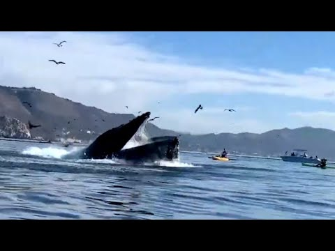 Whale Almost Swallows A Kayaker