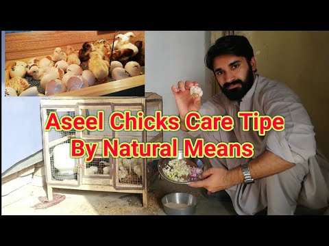 Aseel Chicks Care By Natural Way Chicks Care and Feed  Information in summers