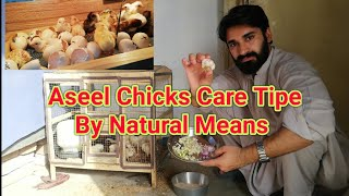 Aseel Chicks Care By Natural Way!! Chicks Care and Feed Full Information in summers