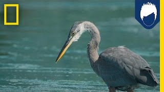 Herons Have a Secret Weapon for Catching Fish: the Deathblow