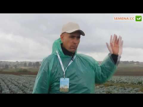 Куизор F1 капуста (Syngenta) день поля 2012 год
