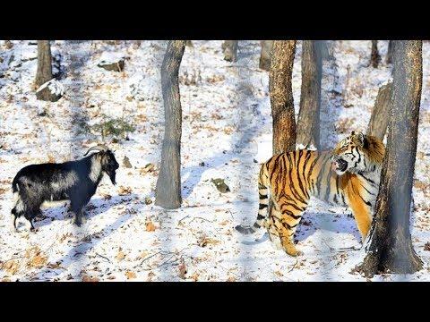 Bode é jogado pra tigre comer e vejam o que aconteceu!