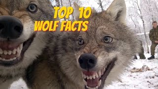 TOP 10 WOLF FACTS - EVERYTHING YOU EVER WANTED TO KNOW ABOUT WOLVES Mp3
