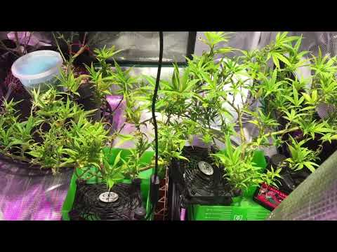 Growing Medical Marijuana with Suite Leaf Nutrients (Migro 100)