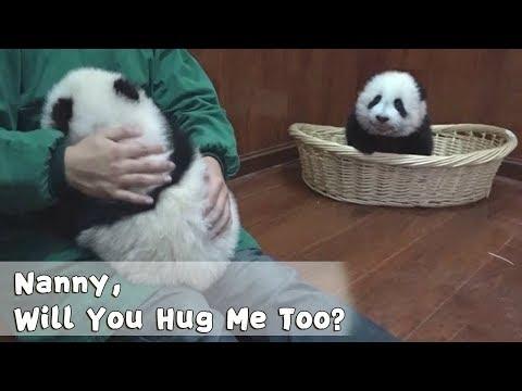 Innocent Panda Begs Nanny For Cuddle | IPanda