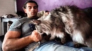 BEAUTIFUL BIG MAINE COON CAT Hélios...SO CUTE GIANT GENTLE Cat breed