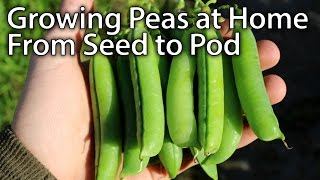 How to Grow Peas - From Planting to Harvesting