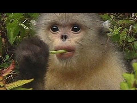 Вопрос: Почему люди все еще убивают обезьян ради мяса?