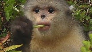 Учёные спасают курносых обезьян (новости)