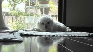 ぺこちゃんのある夏の日の記録 老犬になったペコちゃん。一日の大半のそ...