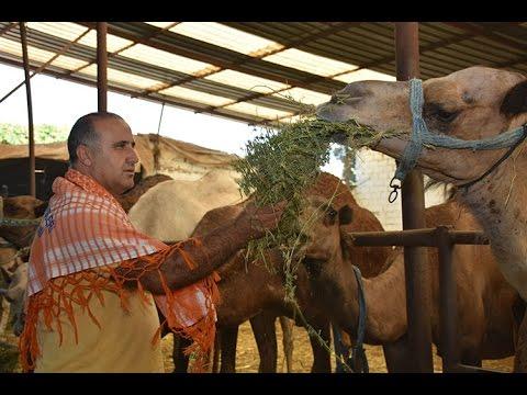 kurbanlık develer alıcılarını bekliyor