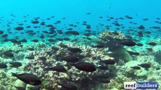 Massive Surgeonfish Migration