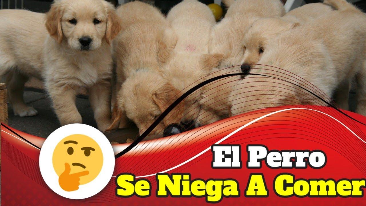 Mi Perro No Quiere Comer - El Perro Se Niega A Comer -
