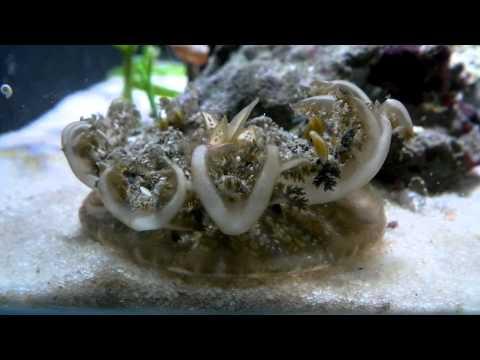 Upside Down Jellyfish   Marine Aquariums South Africa