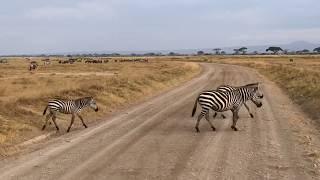 Pasy przechodzą przez ulicę - Amboseli National Park - Kenia - Afryka