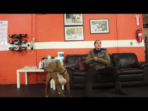 Dog training | Drake at Drop Off | Solid K9 Training Dog training