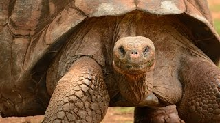 World's BIGGEST TORTOISE! The Giant Galapagos Tortoise, 5 fascinating facts!