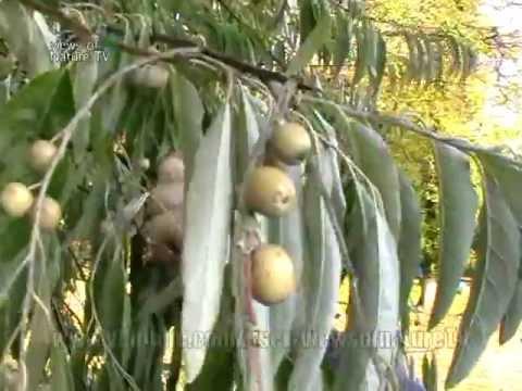 Перепрививка ореха методом ДУДКА - YouTube