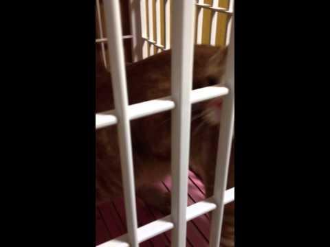 スコティッシュフォールドのみらいちゃん にゃー!にゃー! - Scottish Fold cat Mirai Meow!Meow!