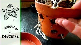 Beware of Ripping Cattleya Roots