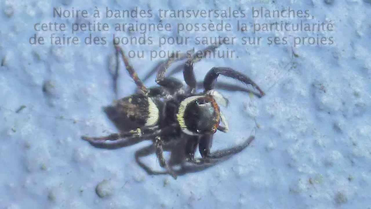 Très Quelques araignées de l'ïle de La Réunion (par C. Aimar et M  AZ84