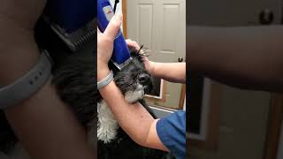 Grooming Tips  for Portuguese Water Dog  muzzle