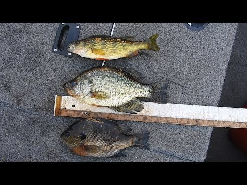 crappie and bluegill differences plus super fast cleaning