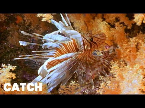 The Lion Fish Is A Beautiful Deadly Predator | Sea Scope Ep5 | Catch