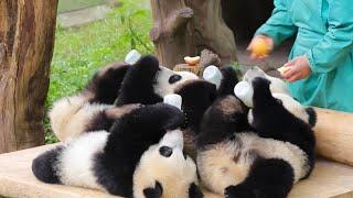 TOO CUTE Panda cubs drink milk together