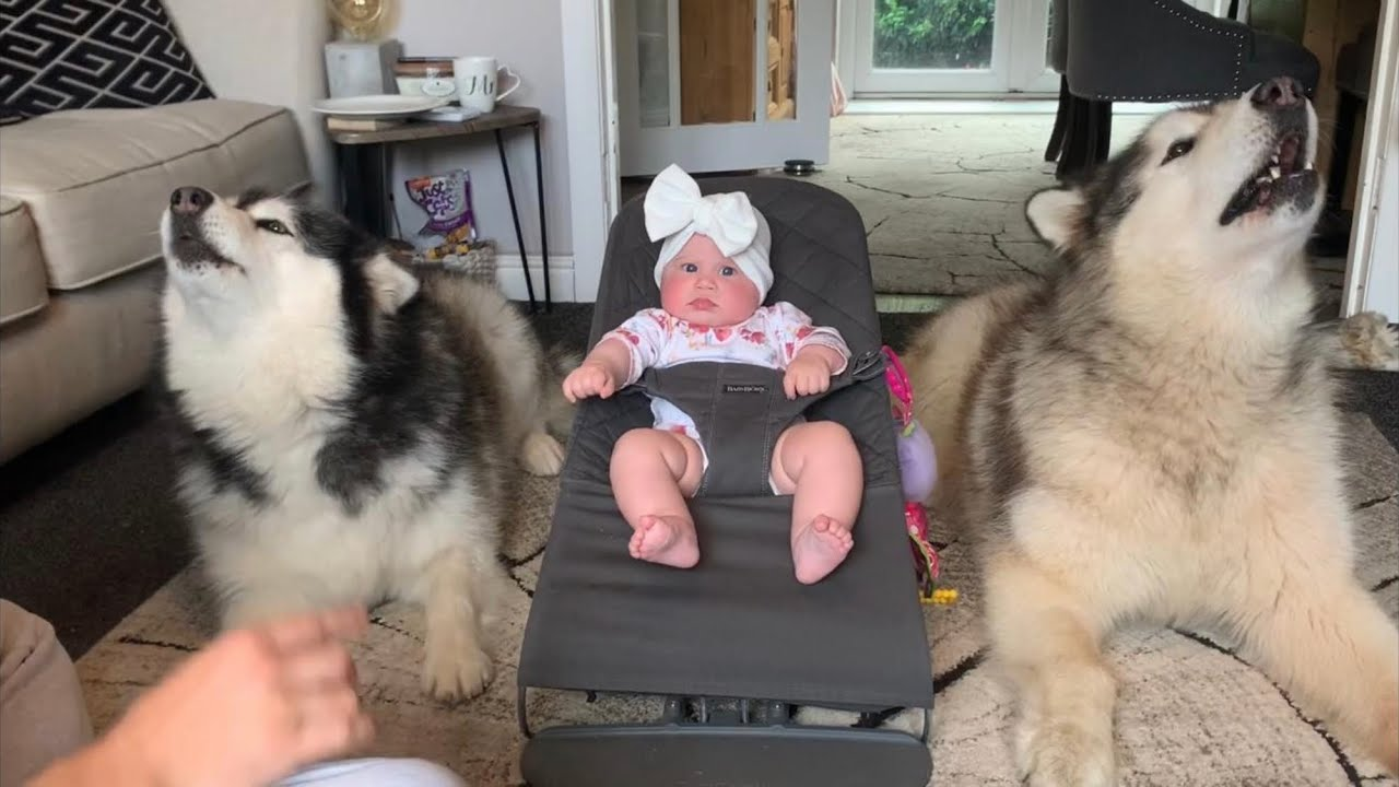 Giant Fluffy Dogs Sing To Baby Talking Malamutes Cutest Duo Ever Youtube Malamute kisses baby (cutest reaction). giant fluffy dogs sing to baby talking malamutes cutest duo ever