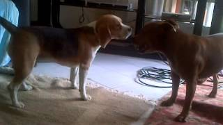 Funny Dogs Playing - Beagle And Staffy. Lol!!