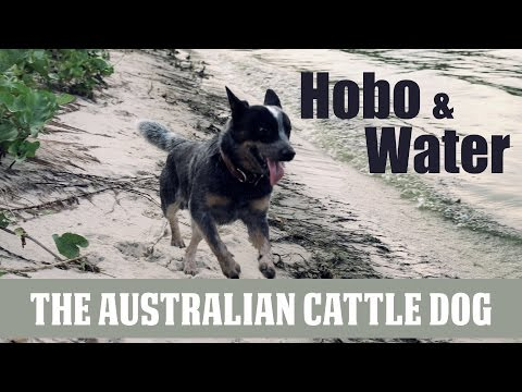 Australian Cattle Dog and water. Swimming lessons