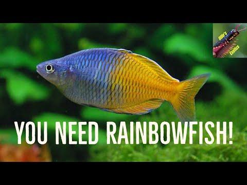 Why You NEED Rainbowfish!