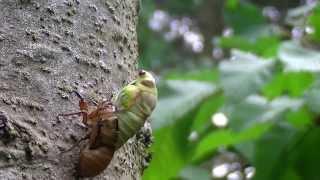 セミ(蟬・蝉)とは、カメムシ目・頸吻亜目・セミ上科に分類される昆虫...