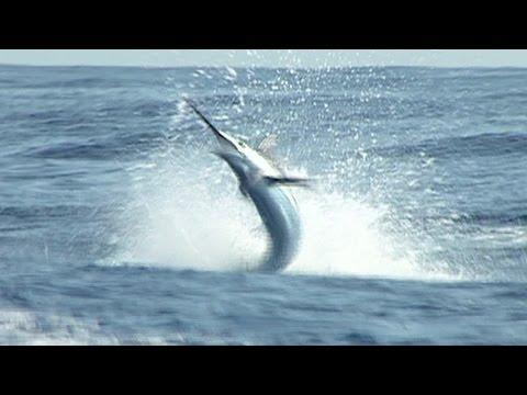 Three Marlin hooked at once in Mazatlan Mexico
