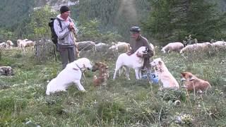 Gani da Guardiania Anti Lupo - GREGGE PELLEGRINO GRAZIANO Alpeggio 2014 Alta Valle Maira