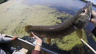 Caught A HUGE Northern Pike On A FROG While Bass Fishing!!!