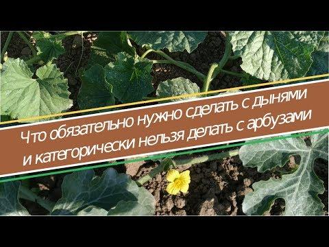 Вопрос: Как вы выращивать арбузы, если проживаешь в тверской области?