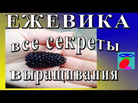 Сорт ежевики Карака Блэк