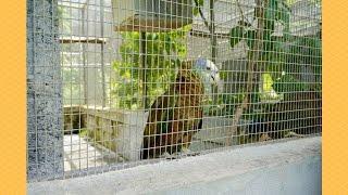 St. Vincent Parrots at the SVG Botanical Gardens