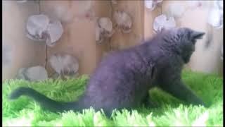 Милый и добрый мальчик Мимикей! Британские котята питомника. Элитные британцы.