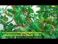 02 Control Crecimiento Limones Eureka en Limonero Cultivo en Maceta 180812 Huerto Urbano Luis Servia